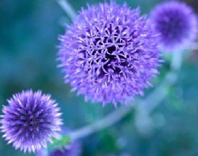 blue-to-purple-perennial-flowers-1